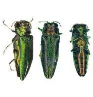 Emerald Ash Borer Is A Threat To Kansas Ash Trees Lawn